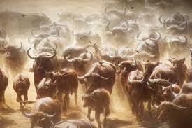 Live Life Like a Buffalo
